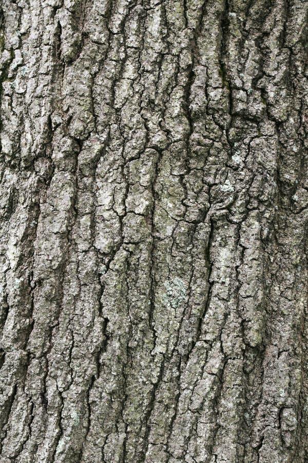 Corteza de árbol grande de roble fotos de archivo libres de regalías