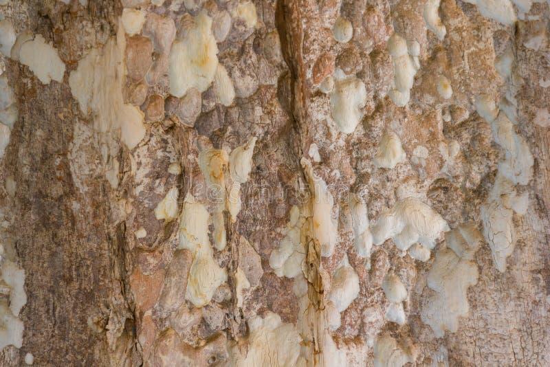 Corteza de árbol de Kurz del calyculata del Lagerstroemia imagenes de archivo