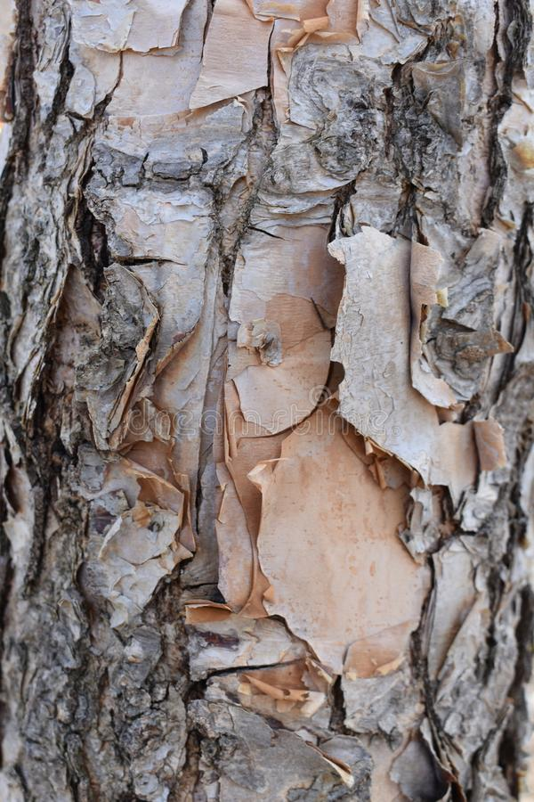 Corteza de árbol de la peladura imagenes de archivo