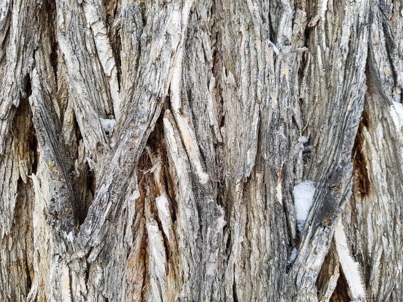 Corteza de árbol de olmo foto de archivo