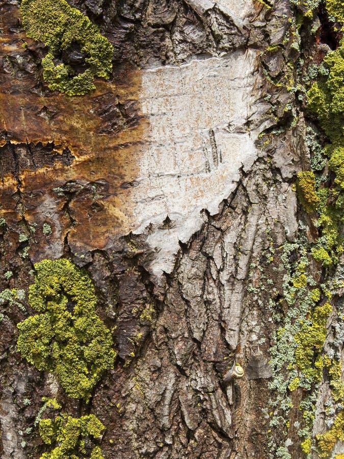 Corteza de árbol vieja de álamo imagen de archivo