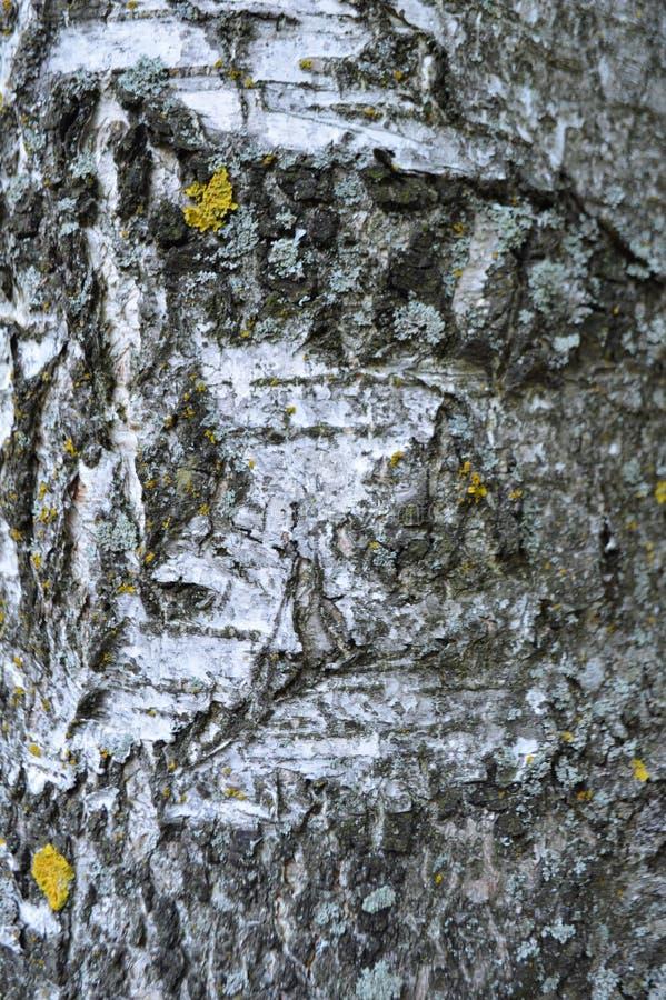 Corteza de la textura de madera de abedul foto de archivo libre de regalías