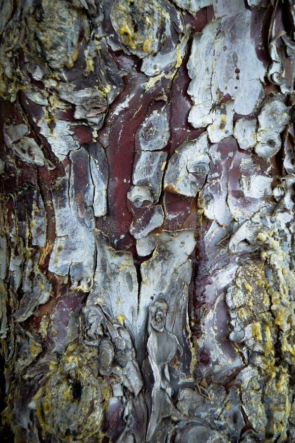 Corteza de madera abstracta de la textura, ?rbol de cipr?s Planta, le?a imágenes de archivo libres de regalías