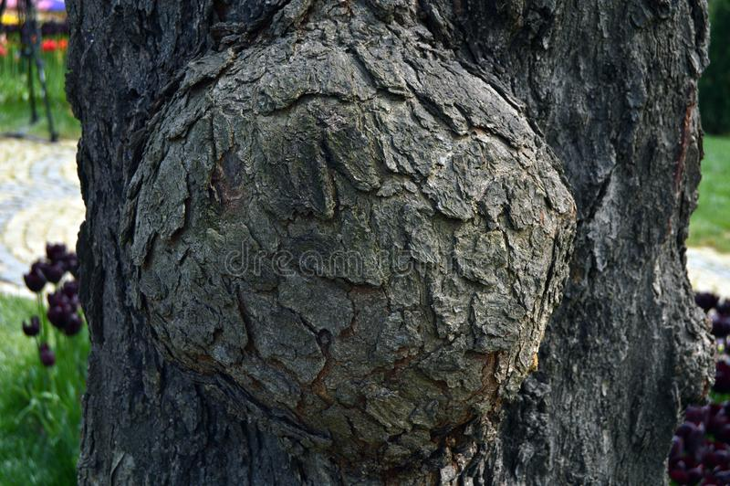 Corteza de madera abstracta de la textura, un roble Tumor del tronco de ?rbol imagen de archivo