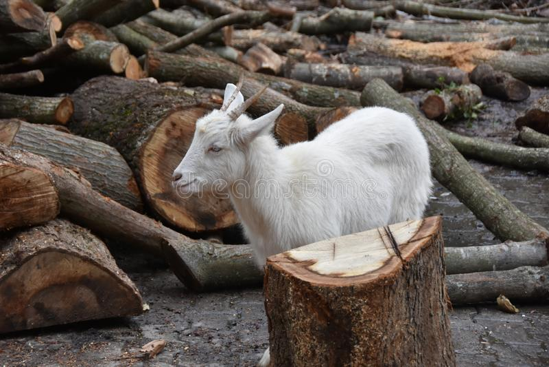 Corteza de mordisco de la cabra de troncos de árbol imágenes de archivo libres de regalías