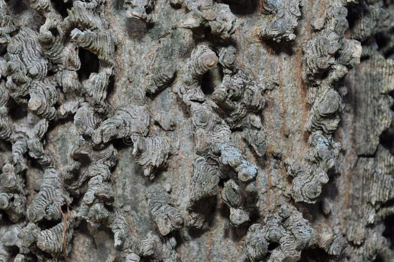 Corteza de un árbol de la almecina imagen de archivo