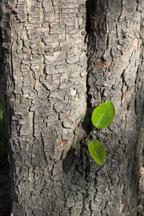 Corteza de un árbol de pera fotos de archivo