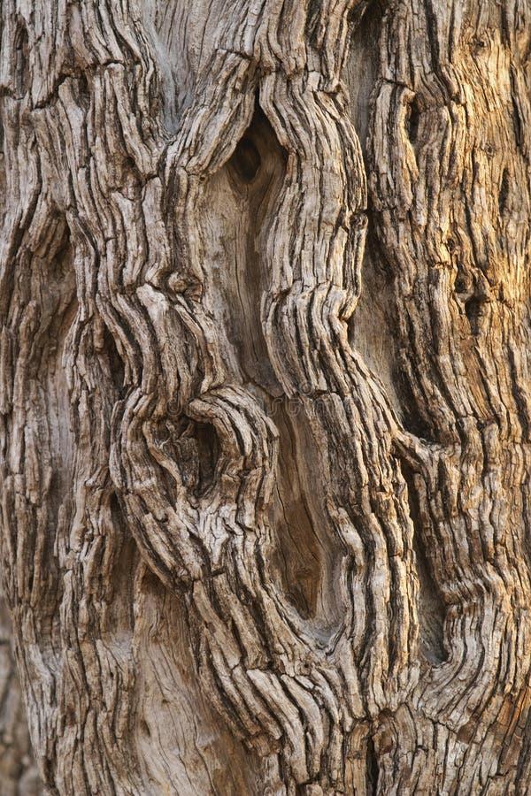 Corteza de un árbol del leadwood. imagen de archivo libre de regalías