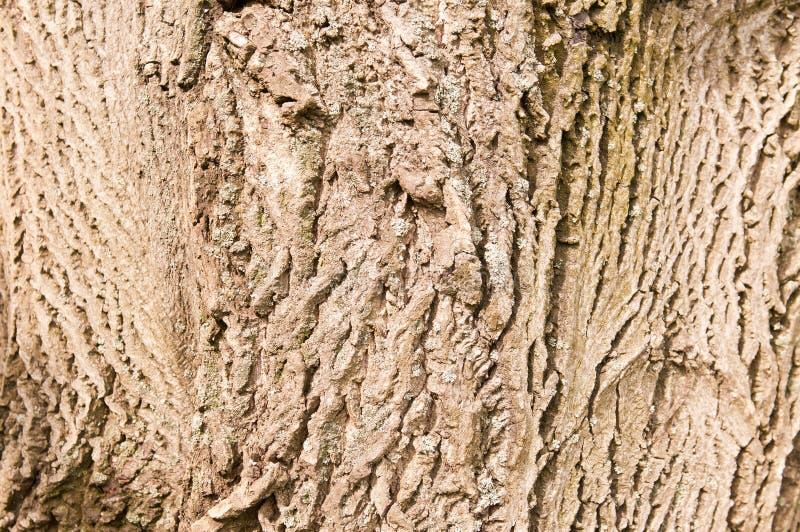 Corteza del árbol de nuez fotografía de archivo