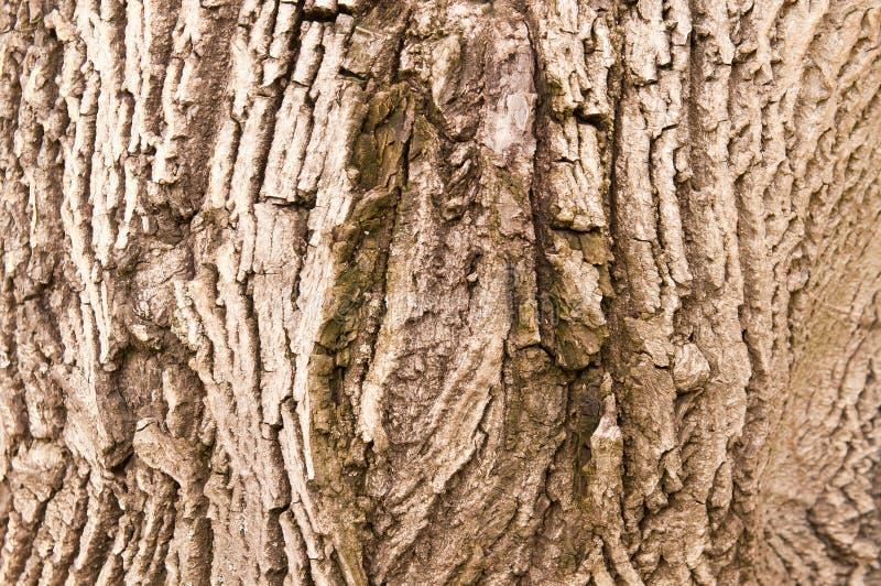Corteza del árbol de nuez fotos de archivo libres de regalías