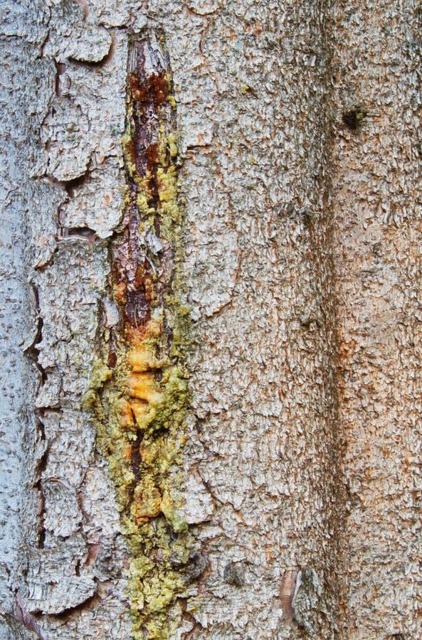 Corteza del árbol de pino con la resina fotos de archivo