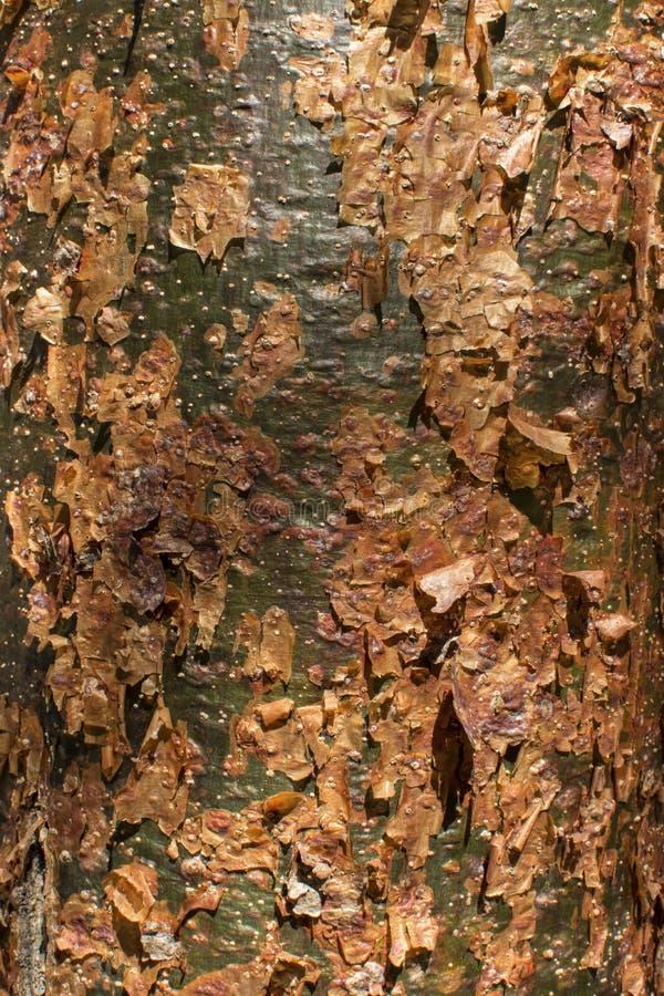 Corteza del árbol del gumbo-limbo fotografía de archivo libre de regalías