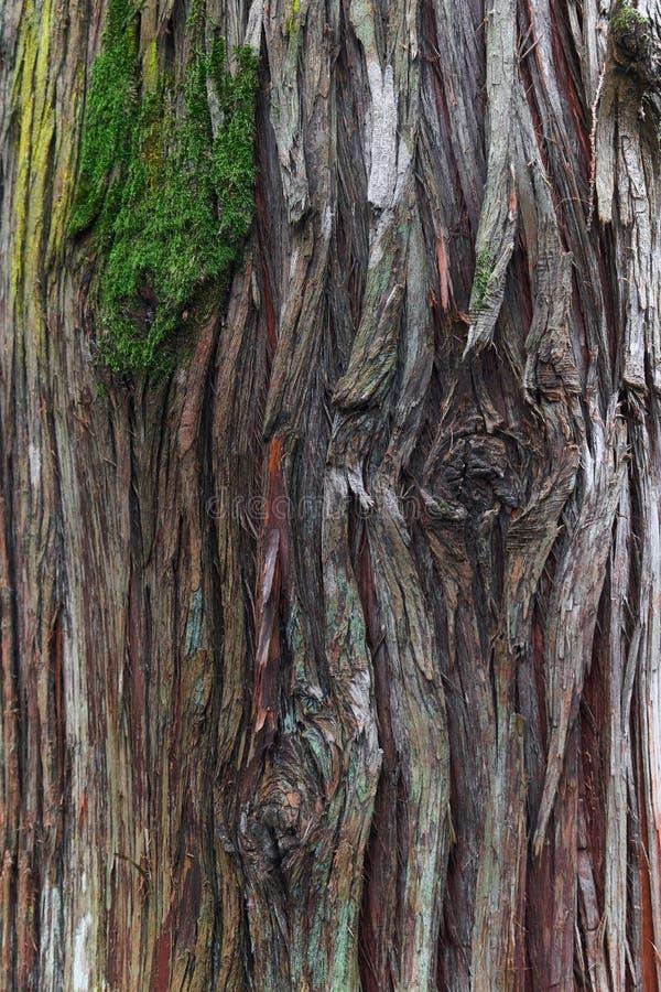 Corteza del árbol gigantesco del thuja del plicata con el musgo fotografía de archivo