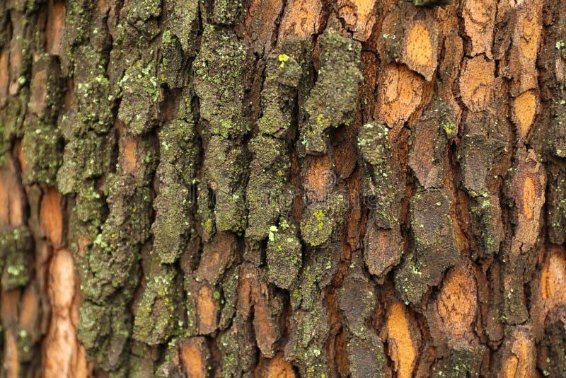Corteza del árbol, primer imagenes de archivo