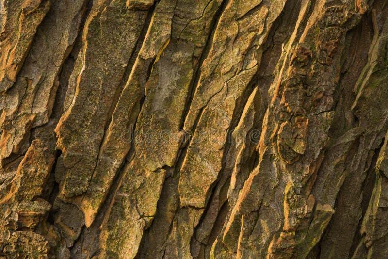 Corteza del árbol viejo del conker fotografía de archivo libre de regalías