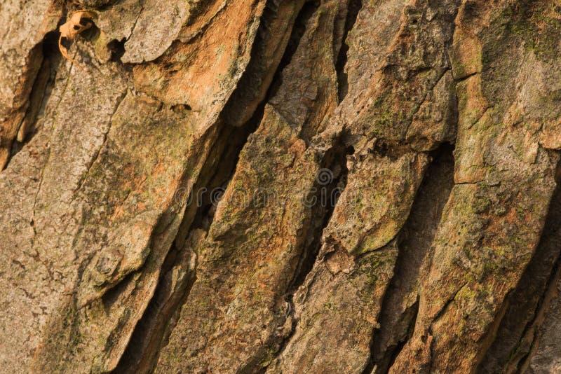 Corteza del árbol viejo del conker foto de archivo