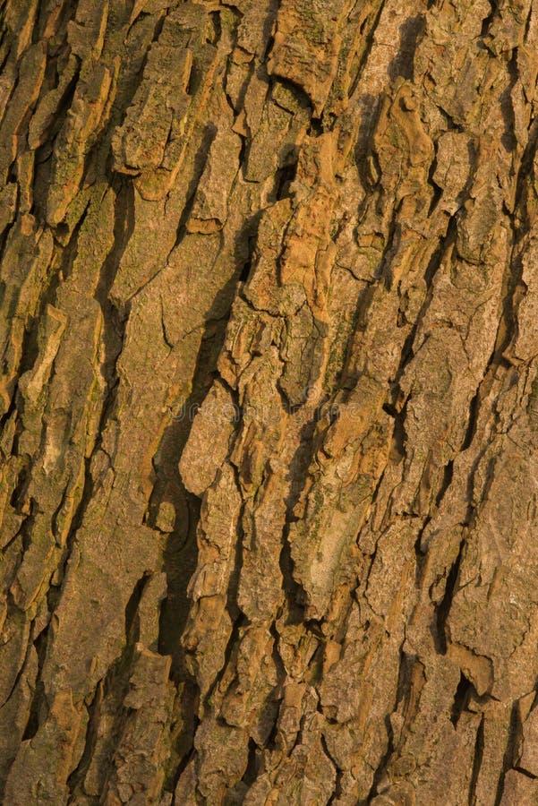 Corteza del árbol viejo del conker fotos de archivo libres de regalías