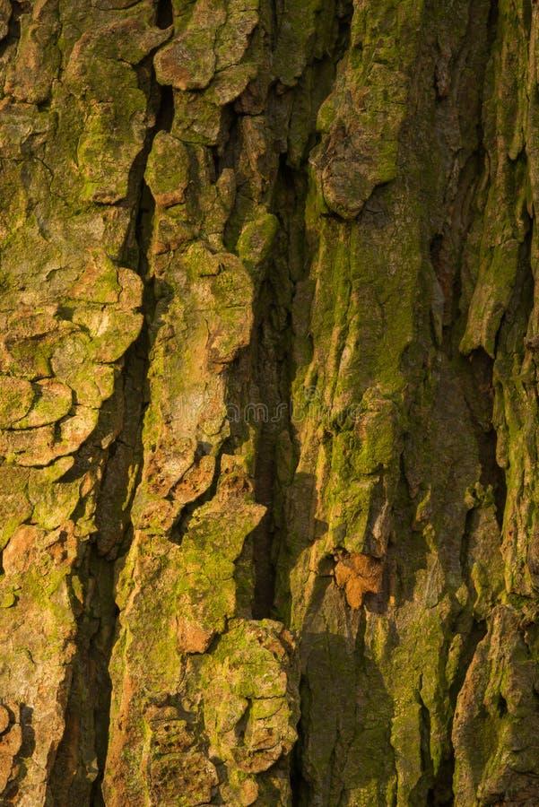Corteza del árbol viejo del conker fotografía de archivo