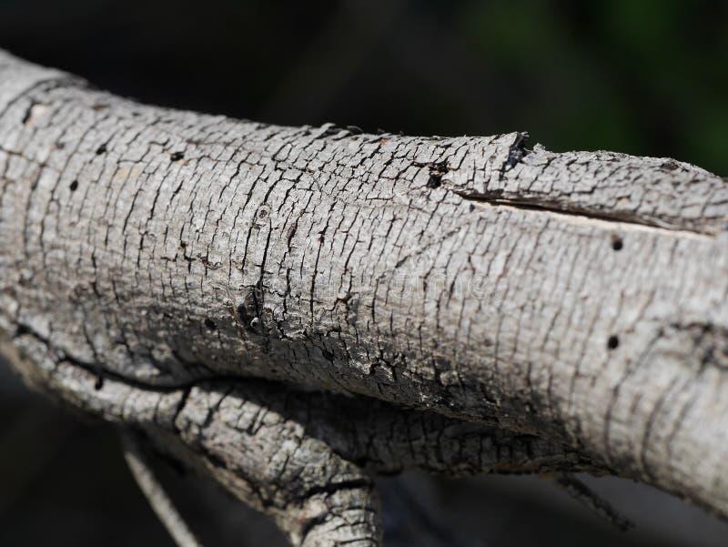 Corteza del Banksia foto de archivo libre de regalías