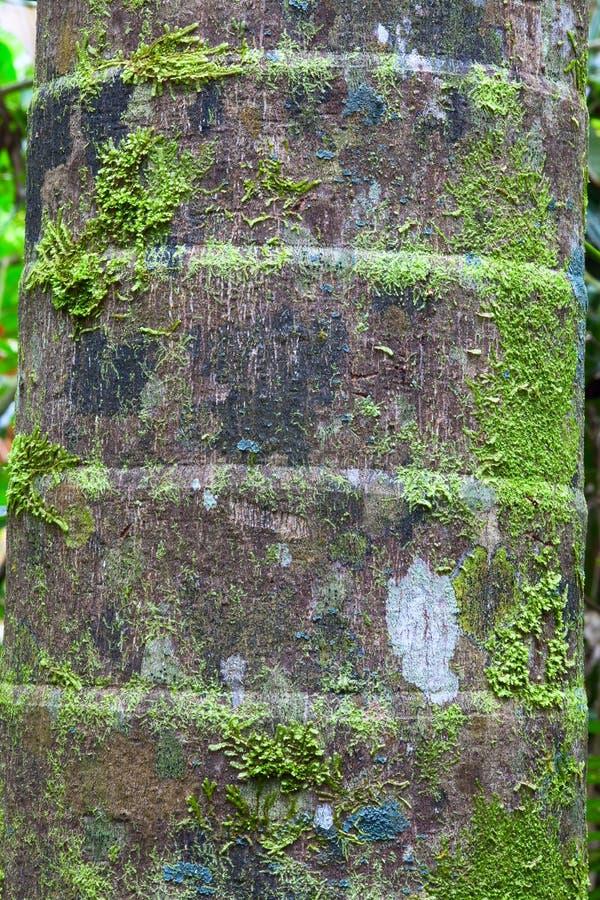 Corteza del detalle del tronco de la palmera imagenes de archivo