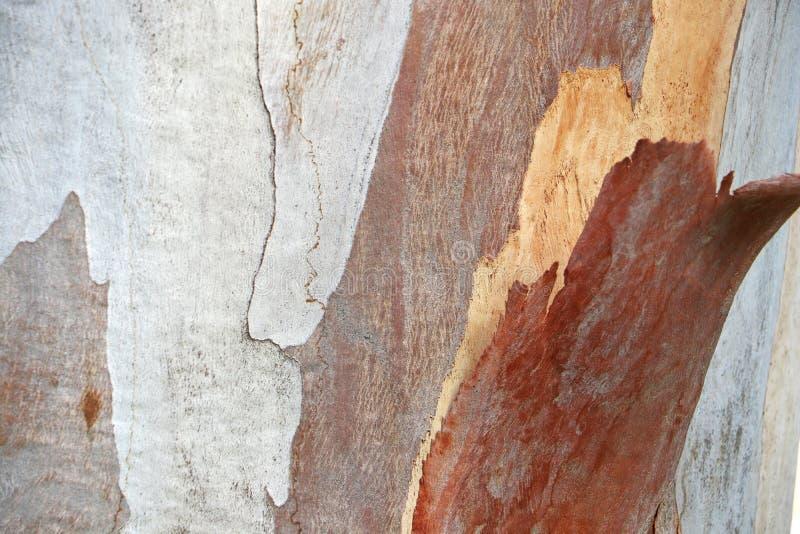 Corteza del eucalipto Textura, extracto fotos de archivo