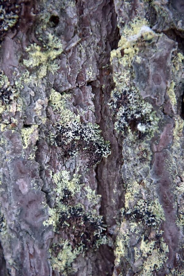 Corteza del pino con el musgo y la nieve foto de archivo libre de regalías