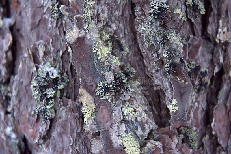 Corteza del pino con el musgo y la nieve imagen de archivo libre de regalías