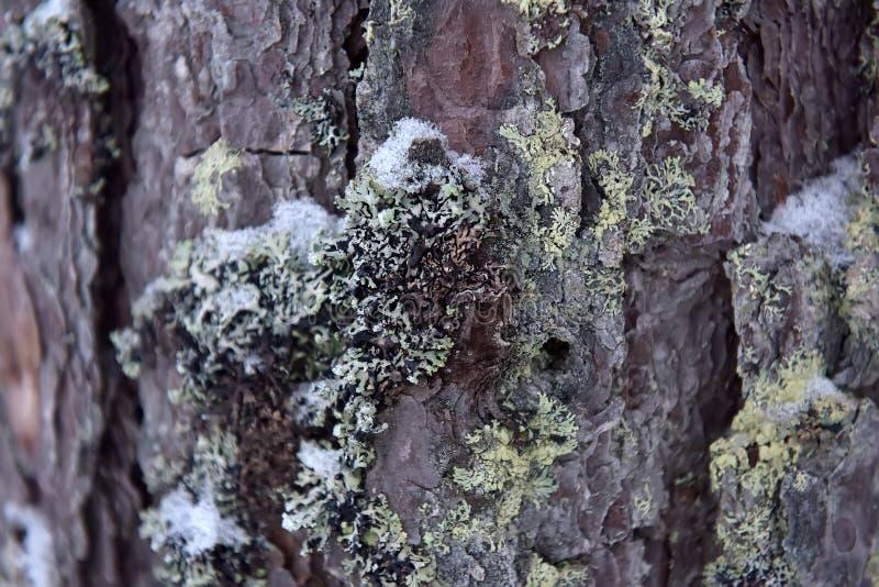 Corteza del pino con el musgo y la nieve foto de archivo