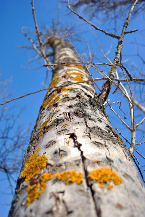 Corteza del tronco de árbol de Aspen con el musgo amarillo en el fondo del cielo azul, cierre de la textura encima de la visión s imagen de archivo