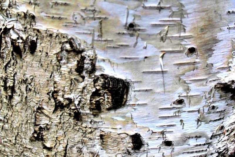 Corteza en un cierre del tronco del abedul blanco para arriba foto de archivo