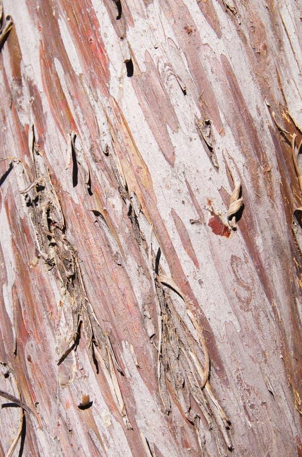 Corteza lisa de Arizona Cypress fotos de archivo libres de regalías