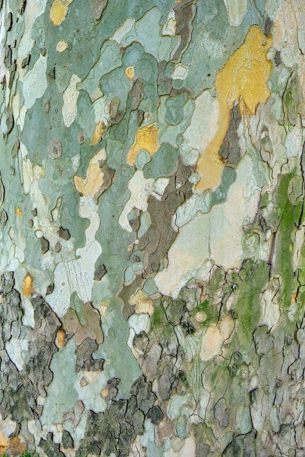 Corteza vieja de Orientalis del Platanus del árbol del sicómoro/textura externa de la capa - vertical, cierre para arriba con la  fotografía de archivo libre de regalías