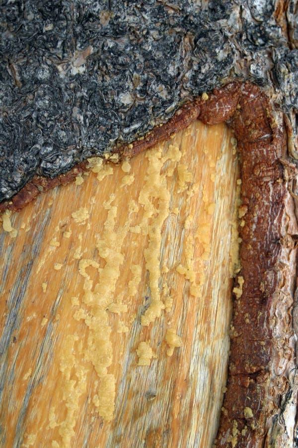 Corteza y savia de árbol de pino foto de archivo