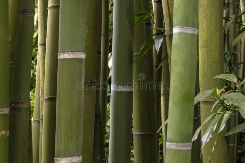 Cortina do arvoredo dos bambus fotografia de stock