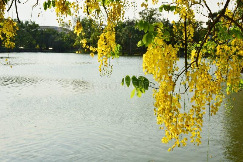 Cortina real amarilla brillante de la flor fotografía de archivo libre de regalías