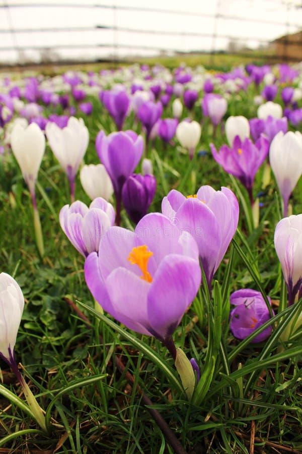 Cortinas púrpuras fotografía de archivo