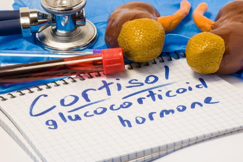 Cortisol glucocorticoid foto van het hormoon kenmerkende concept Cijfer van bijnierenschors met nieren dat dit stero produceert royalty-vrije stock afbeelding