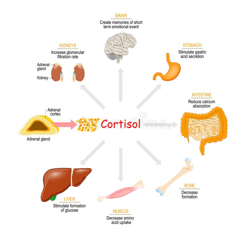 Cortisol hormone. Health effects. Cortisol. Health effects. Metabolic and Immune response. steroid hormone. glucocorticoid stock illustration