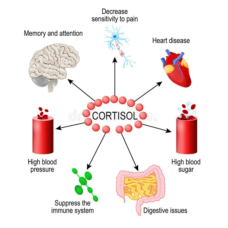 Free Cortisol Hormone. Human Endocrine System Stock Image - 142244591