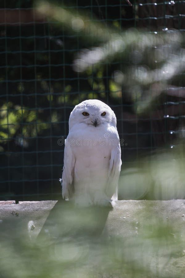 Coruja branca bonita em uma árvore, olhando à câmera imagens de stock royalty free