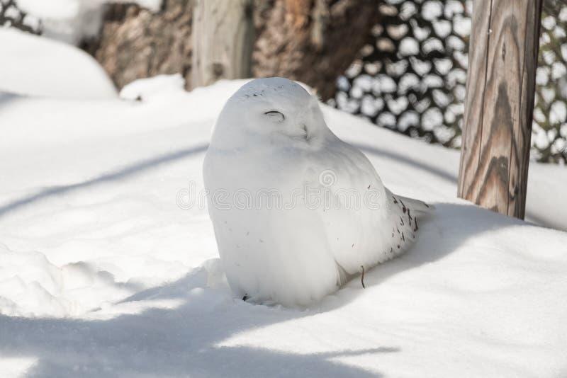 Coruja branca da neve bonito do smiley que senta-se sob a máscara em um dia ensolarado no inverno frio fotografia de stock