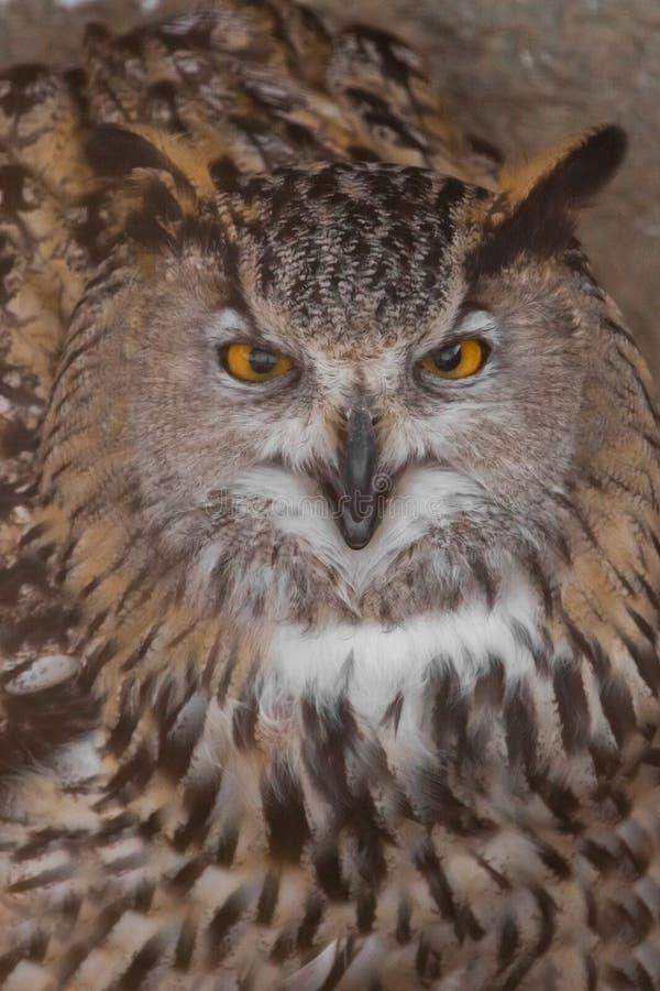 A coruja com olhos claros e um olhar irritado é uma grande coruja predatório fotos de stock