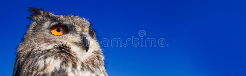 Coruja com os olhos alaranjados grandes contra um escuro - céu noturno de nivelamento azul imagens de stock royalty free