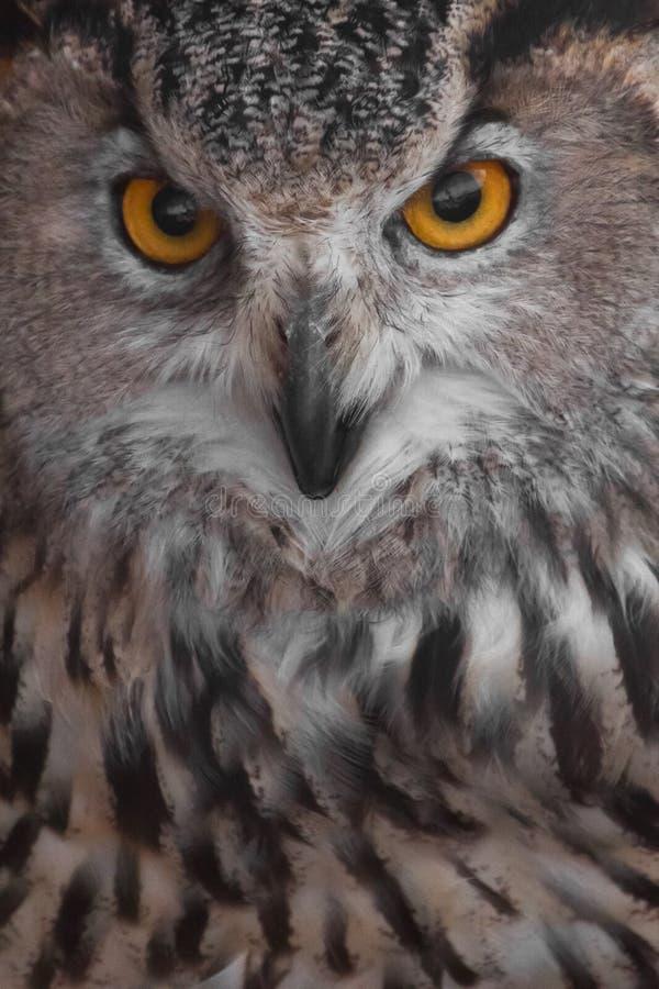 A coruja da cara da coruja com olhos claros e um olhar irritado é uma grande coruja predatório imagem de stock