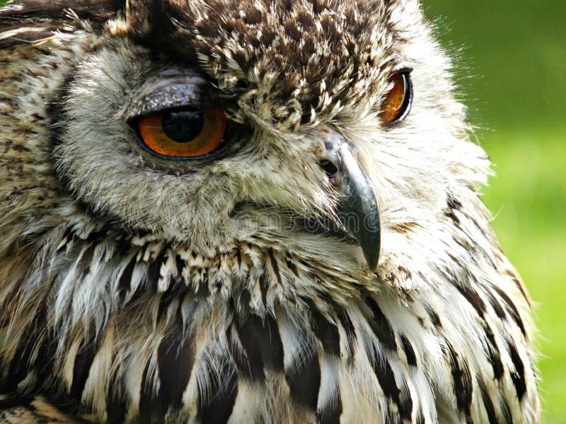 Coruja De águia Domínio Público Cc0 Imagem