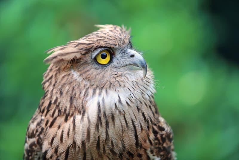Coruja de águia ascendente próxima na natureza fotos de stock royalty free
