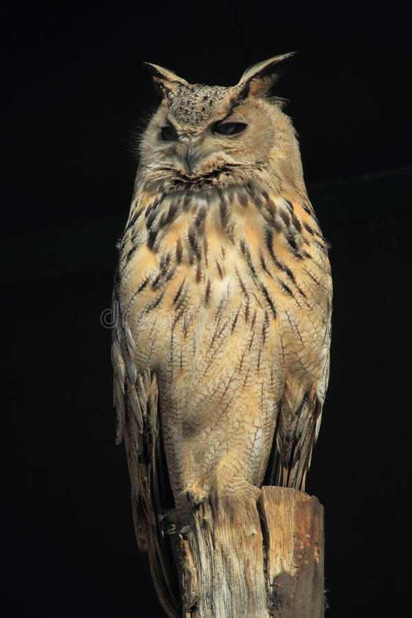 Coruja de águia de Turkmenian imagens de stock royalty free