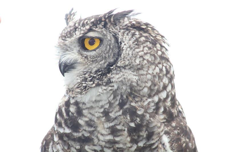 Coruja de águia do cabo foto de stock royalty free