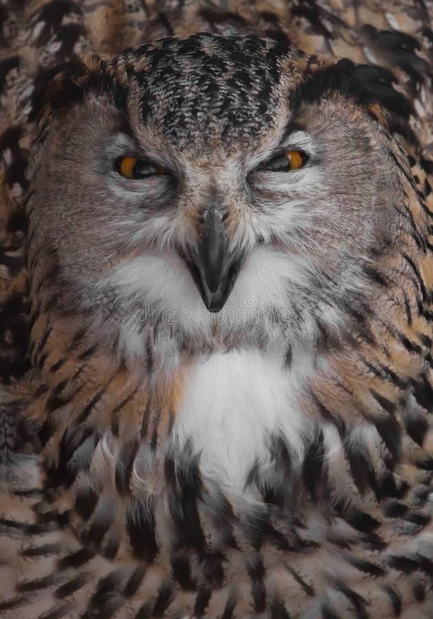 A coruja de águia do mal é enorme e olha-o que agarra seu bico A coruja com olhos claros e um olhar irritado ? uma grande coruja  imagem de stock royalty free