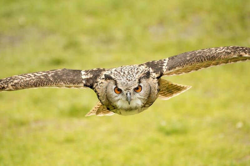 Coruja de águia do voo fotografia de stock royalty free